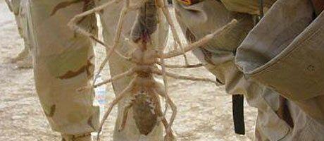 Soldaten im Irak mit toten Kamelspinnen Quelle: camelspider.net