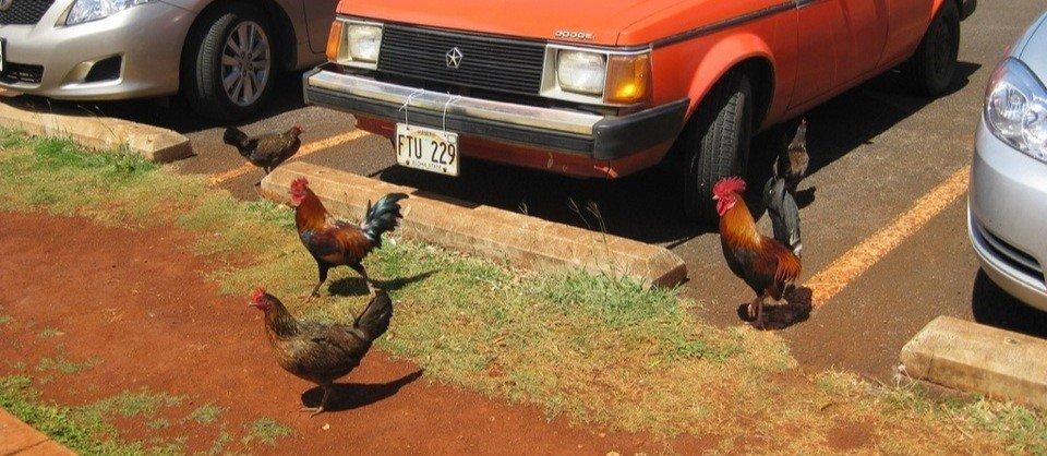 Die wilden Hühner von Kauai