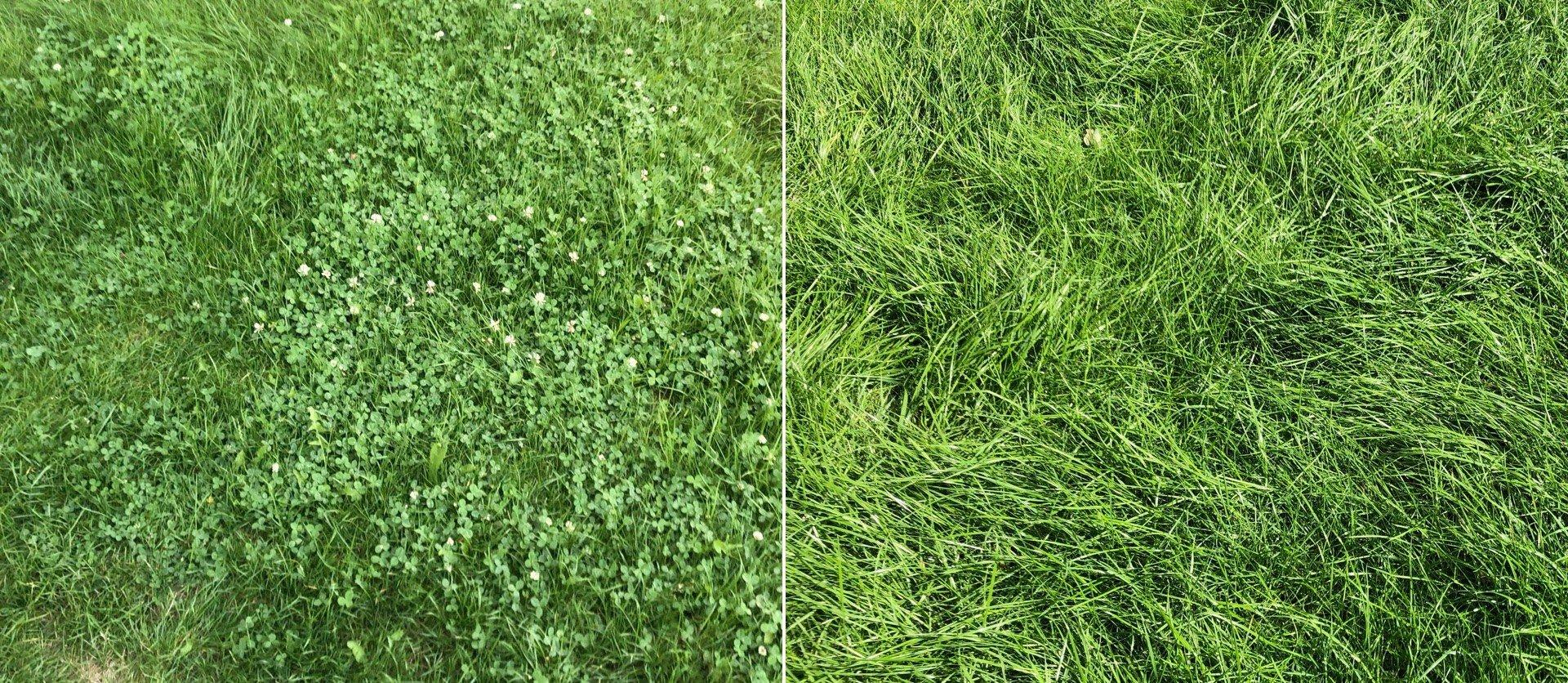 Auf der linken Seite der Rasen vor der Behandlung. Auf der rechten Seite dieselbe Stelle zwei Wochen später.